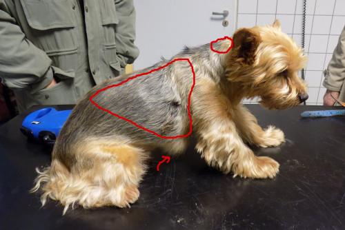 poraněný pes